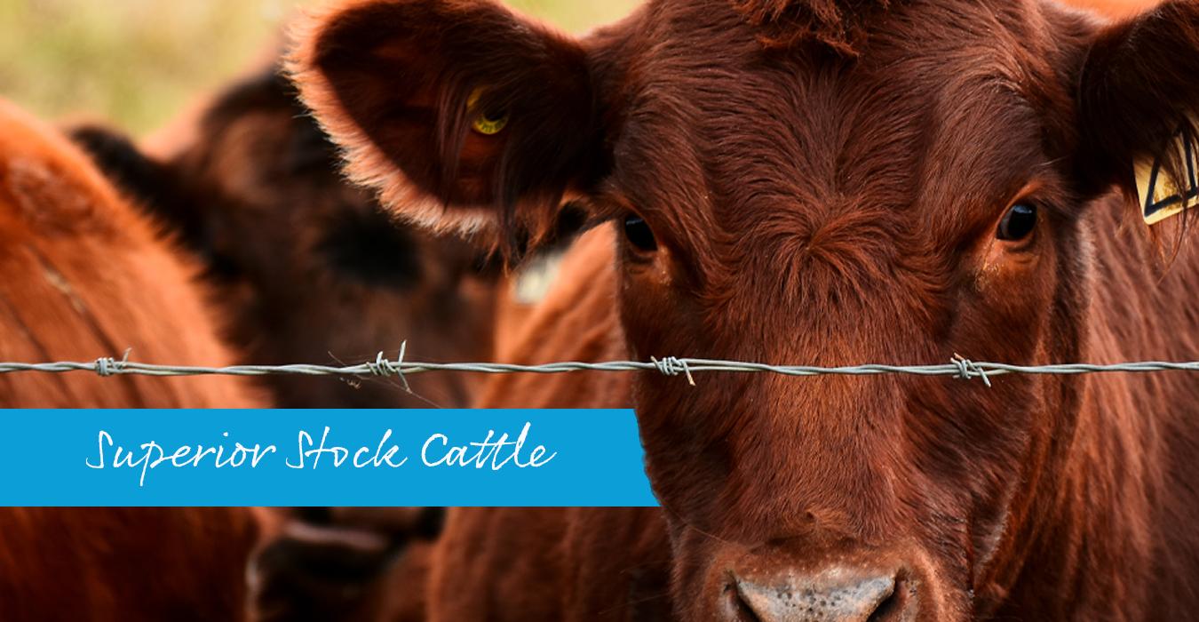 6 Produk Slider_Cattle (2)